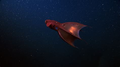 The Vampire Squid From Hell - Science Friday